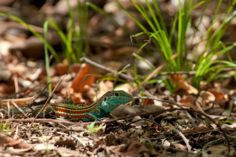 Wildlife of Riu Guanacaste Resort - Deppi's whiptail