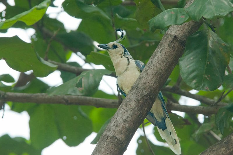Wildlife of Riu Guanacaste Resort - White-throated magpie jay