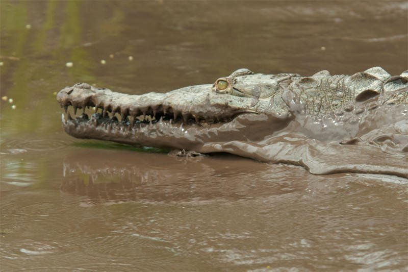 River cruise in Palo Verde - American crocodile