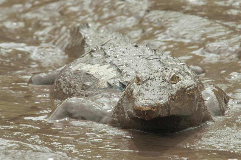 Muddy American crocodile at Palo Verde National Park, Costa Rica