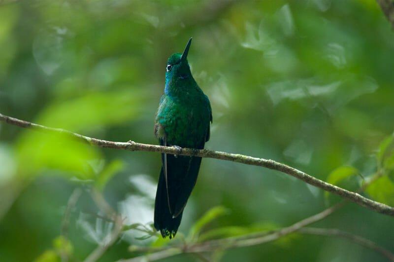 Wildlife watching in Monteverde - Green-crowned brilliant