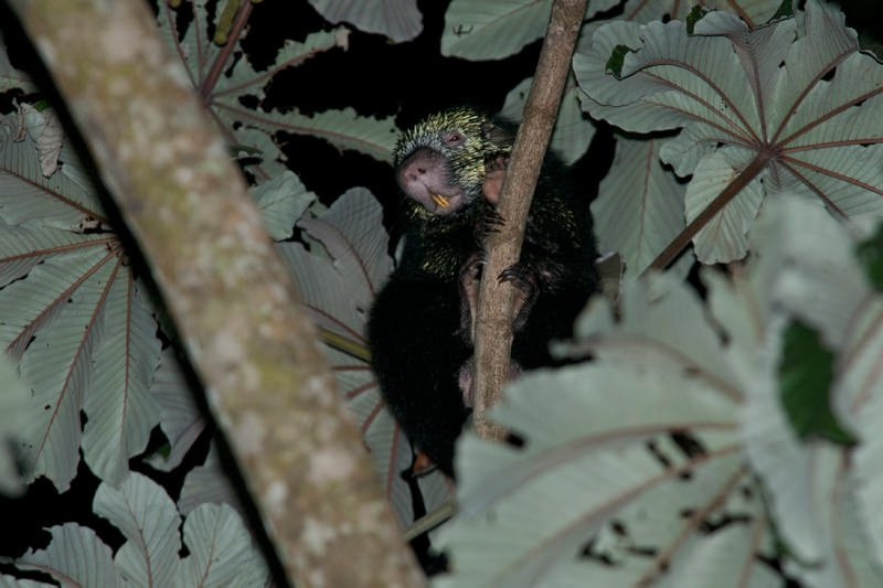 Wildlife watching in Monteverde - Mexican hairy dwarf porcupine