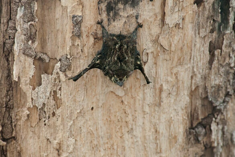 River cruise in Palo Verde - Brazilian long-nosed bat