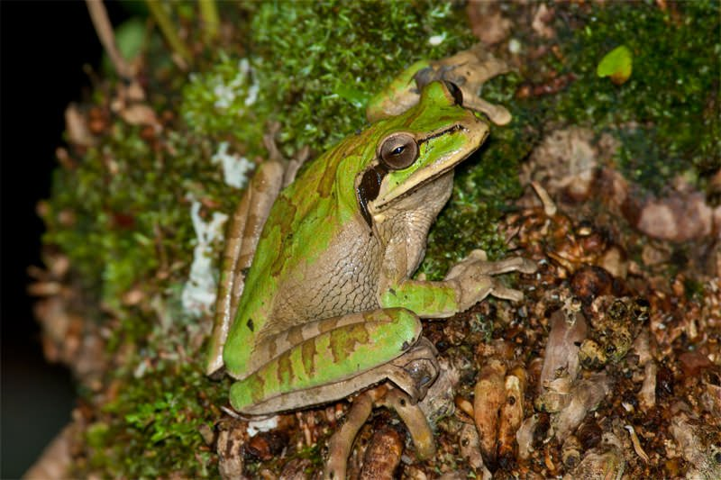 Wildlife watching in Manuel Antonio - Masked tree frog, Costa Rica