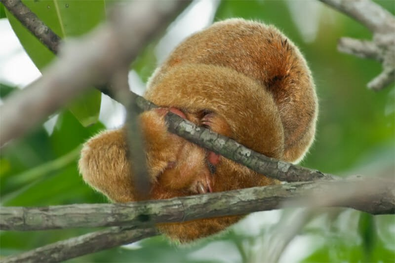 Wildlife watching in Manuel Antonio - Silky Anteater at Damas Island