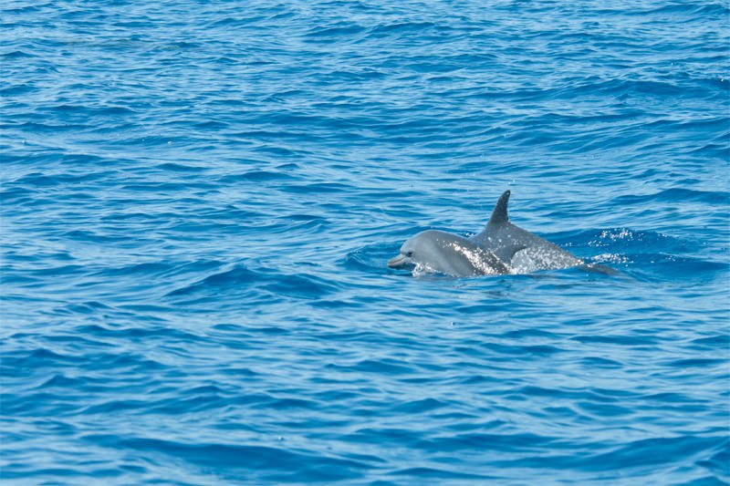Whale watching in Drake Bay - Spotted dolphins