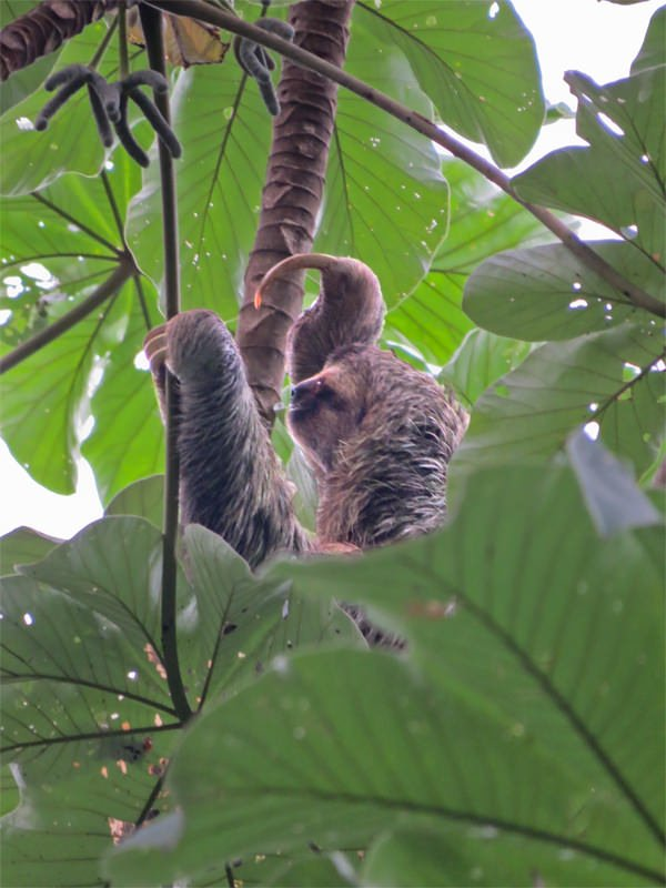 Wildlife watching in Manuel Antonio - Three-toed sloth