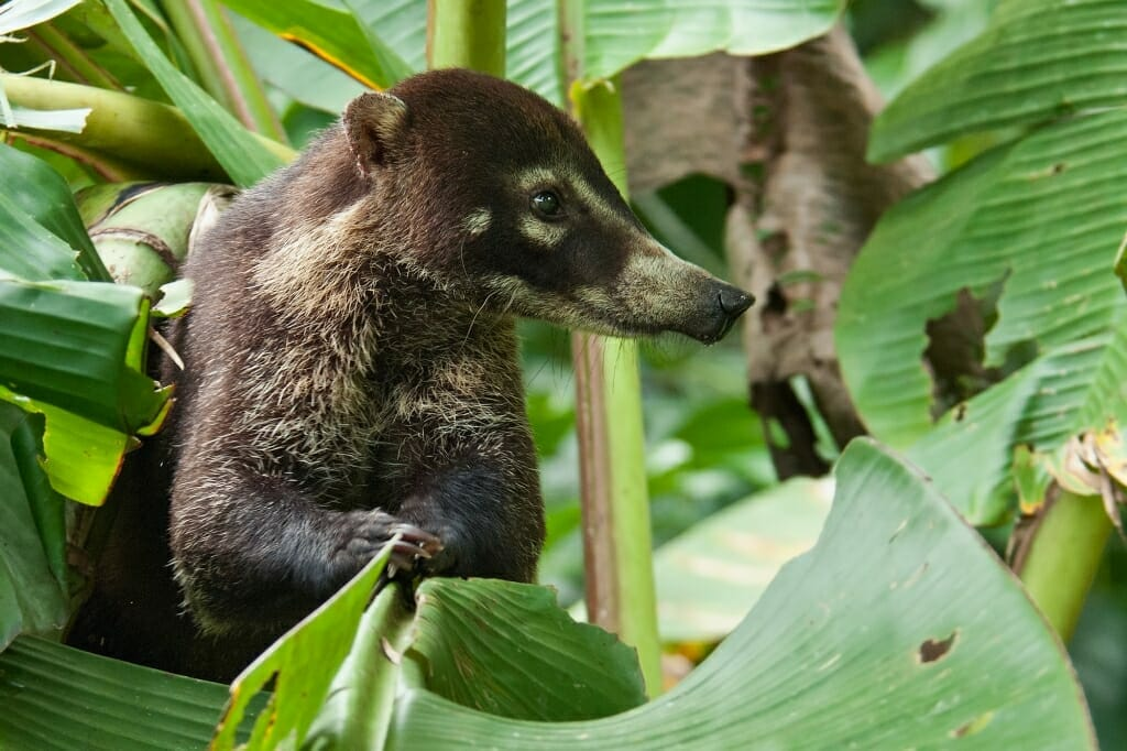 White-nosed coati in Corcovado