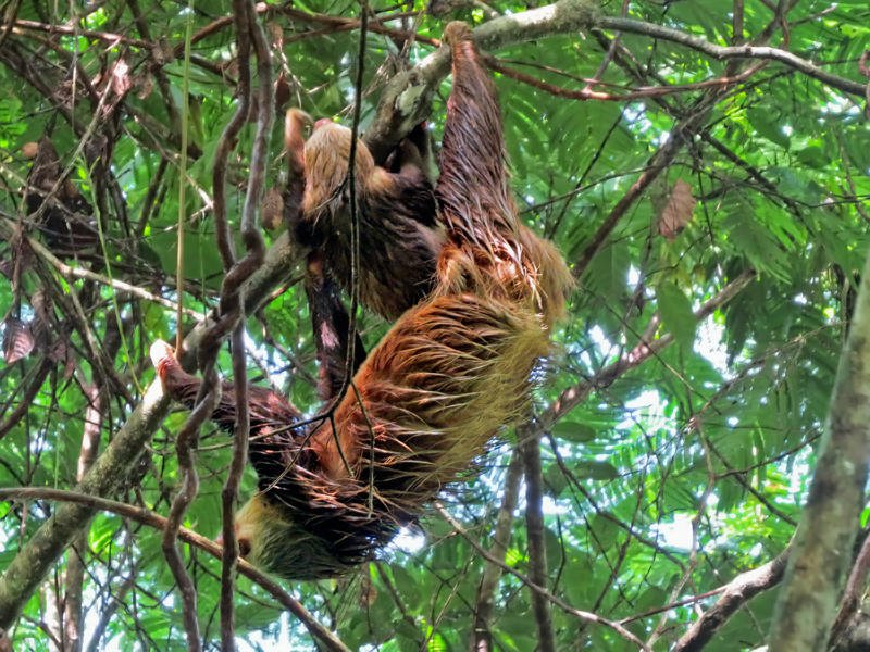 Hoffmans's two-toed sloth