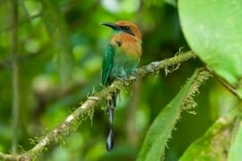 Broad-billed motmot at La Selva Biological Station