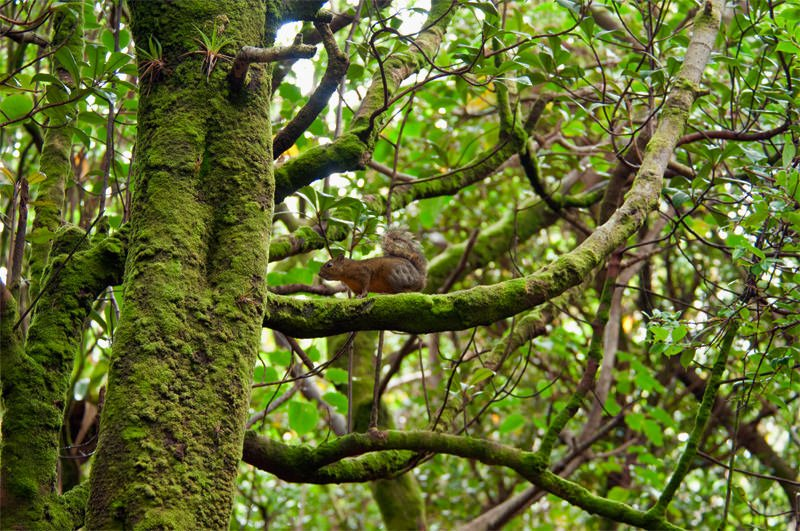 Variegated squirrel in the cloud forest at Poas Volcano