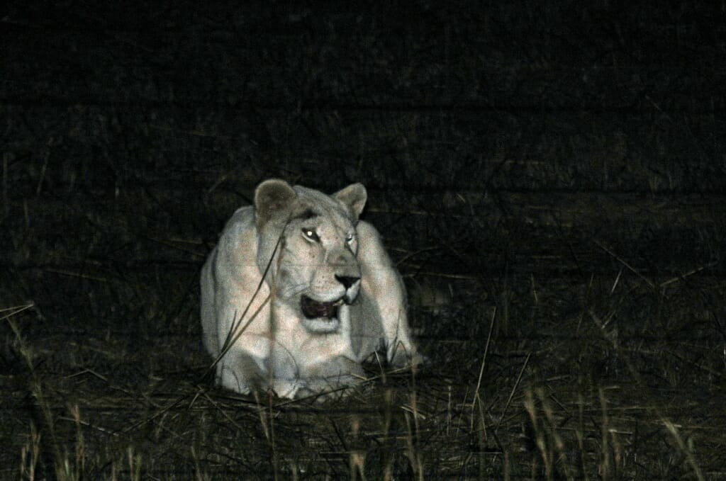 Wild cats - white lioness at Kruger National Park