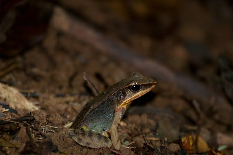 Night walk at Tirimbina Lodge - Brilliant forest frog
