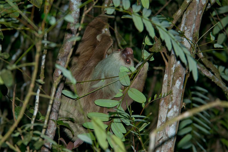 Night walk at Tirimbina Lodge - Hoffmann's two-toed sloth