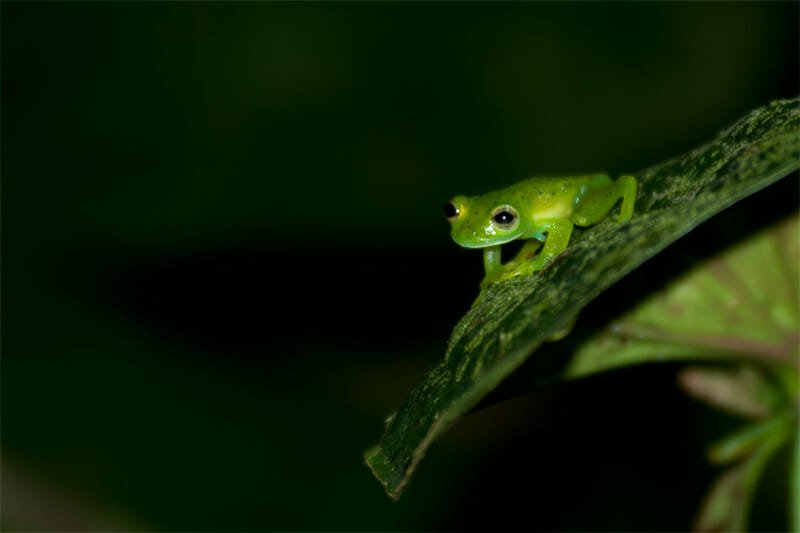 Night walk at Tirimbina Lodge - Glass frog