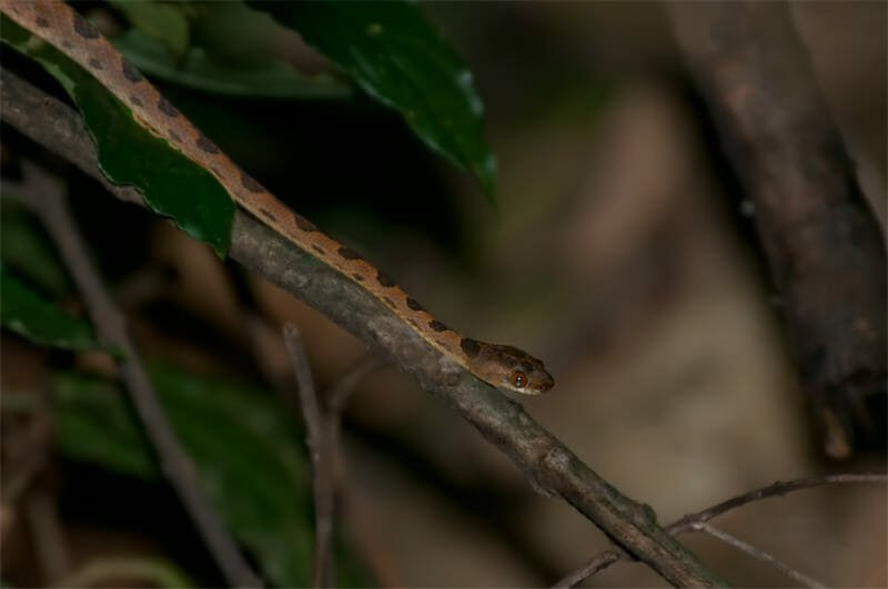 Night walk at Tirimbina Lodge - Cat snake
