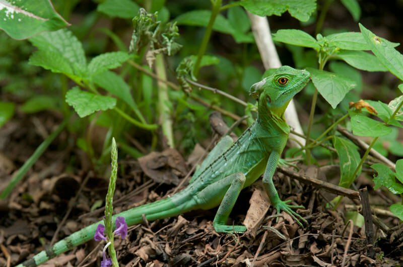 Exploring the trails at Tirimbina - Green iguana