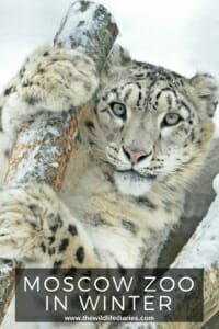 Moscow Zoo in Winter #snowleopard #siberiantiger #animalsinthesnow