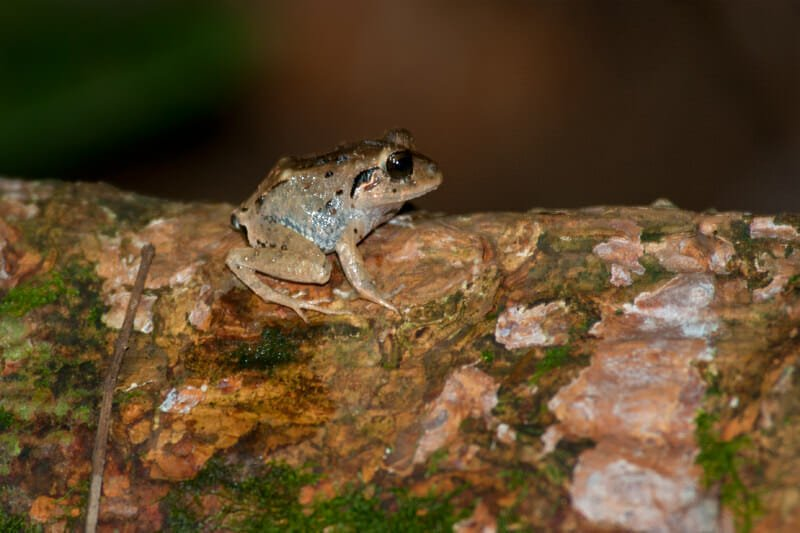 Night walk at Tirimbina Lodge - Broad-headed rain frog