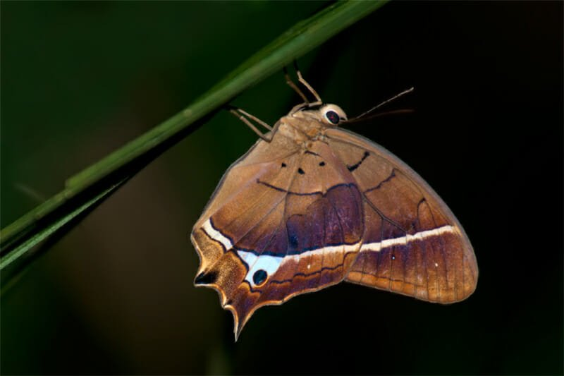 Night walk at La Selva - Sleeping butterfly