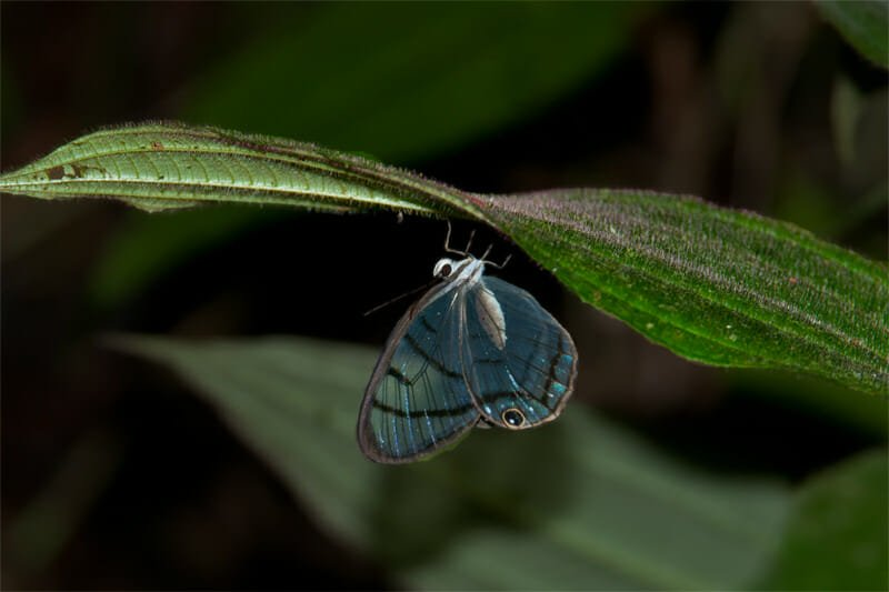 Night walk at La Selva - Sleeping glass wing butterfly