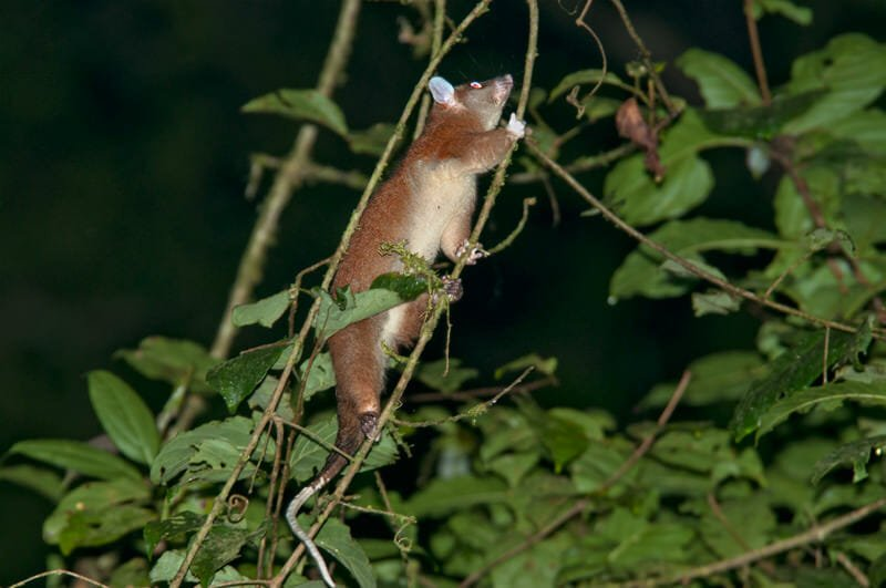 Night walk at La Selva - Woolly opossum