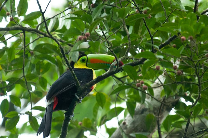 Keel billed toucan at La Selva Biological Station