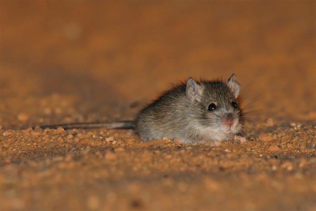 Australian desert wildlife - Desert mouse