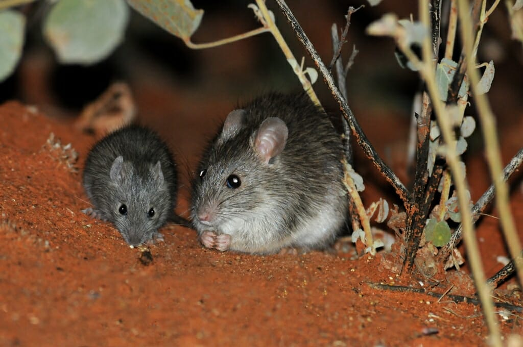 Australian desert wildlife - Long-haired rat with young