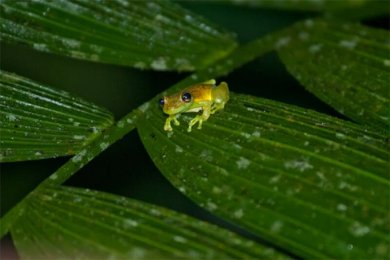 Night walk at La Selva - Narrow-headed tree frog
