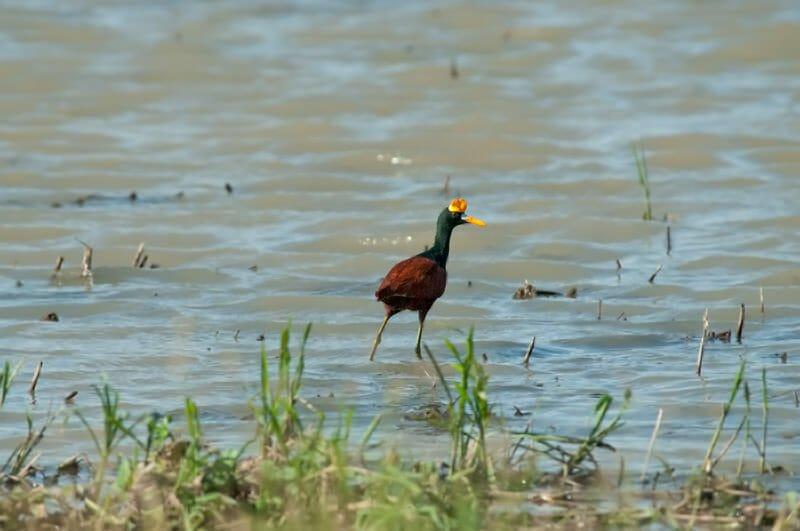 Wildlife of Palo Verde - Northern jacana
