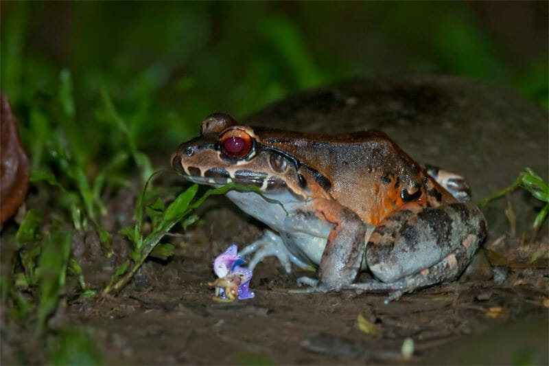 Night walk at La Selva - Savages Bull frog