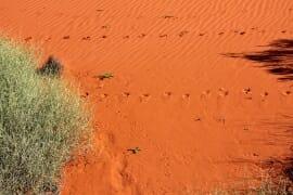 dingo tracks on the dune