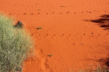 dingo tracks on the dune