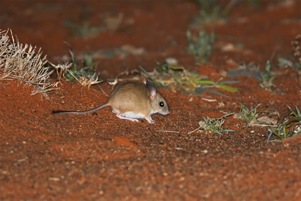 Simpson Desert animals - Spinifex hopping mouse at Old Andado