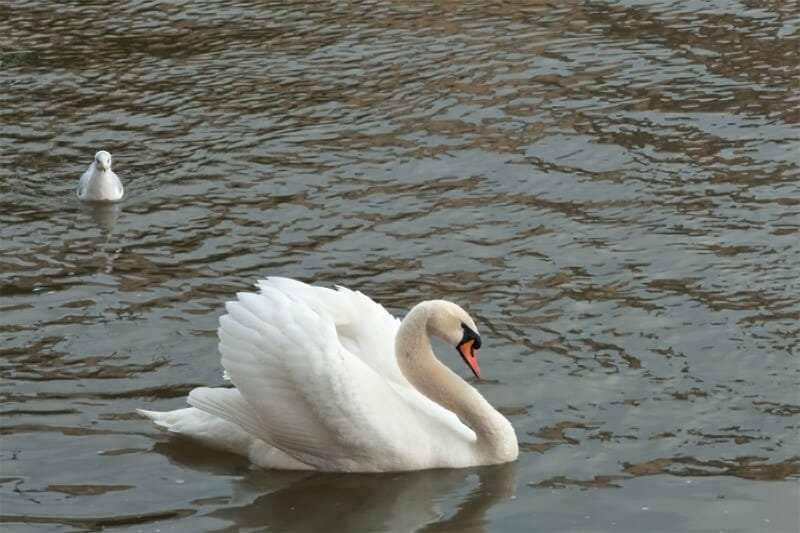 Mute swan and Black-headed gull on Vltava River