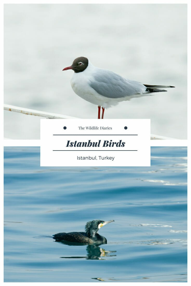 Istanbul birds - Birdwatching in the ancient city #Yellow-legged gulls #Black-headed gull #Heuglin's gull #whitewagtail