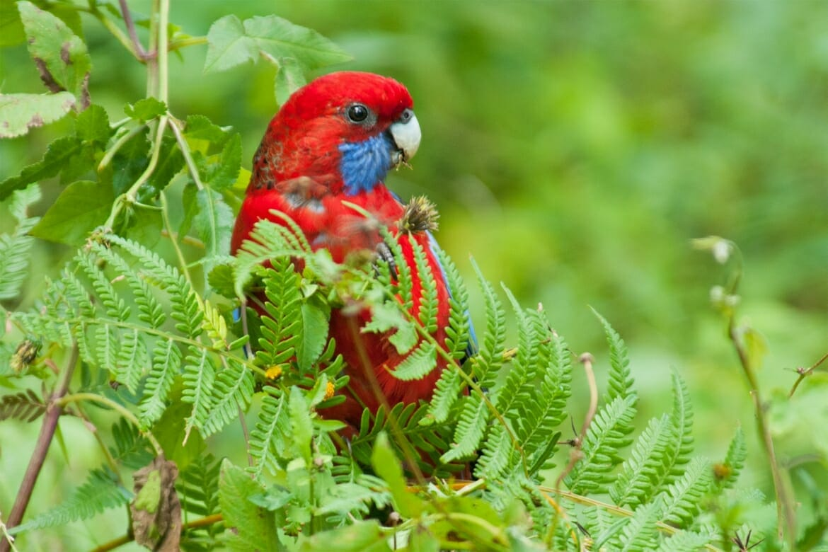 Crimson rosella at Helensborough, near the abandoned railway tunnel