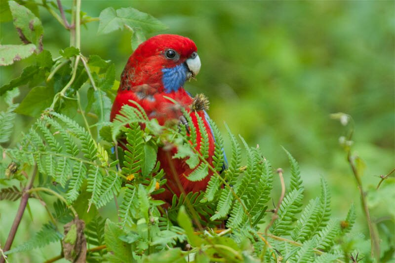 Palm jungle loop track - Crimson Rosella