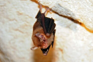 Bumblebee bat or Kitti's hog-nosed bat in Kanchanaburi
