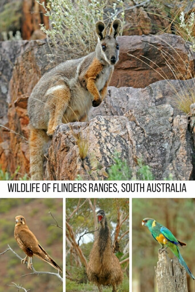 Wildlife of Flinders Ranges, South Australia. From Kangaroos to Emus to brightly colored parrots and funky looking lizards. Flinders Ranges has it all #wildlife #flindersranges #southaustralia