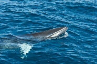 Pelagic Wildlife Watching - Dwarf Minke whale
