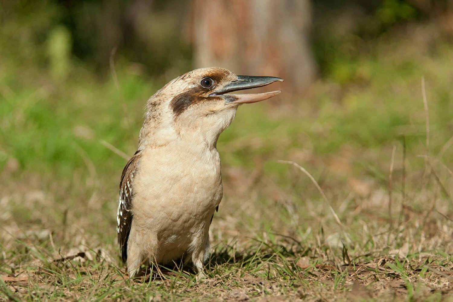 Laughing kookaburra at Euroka clearning