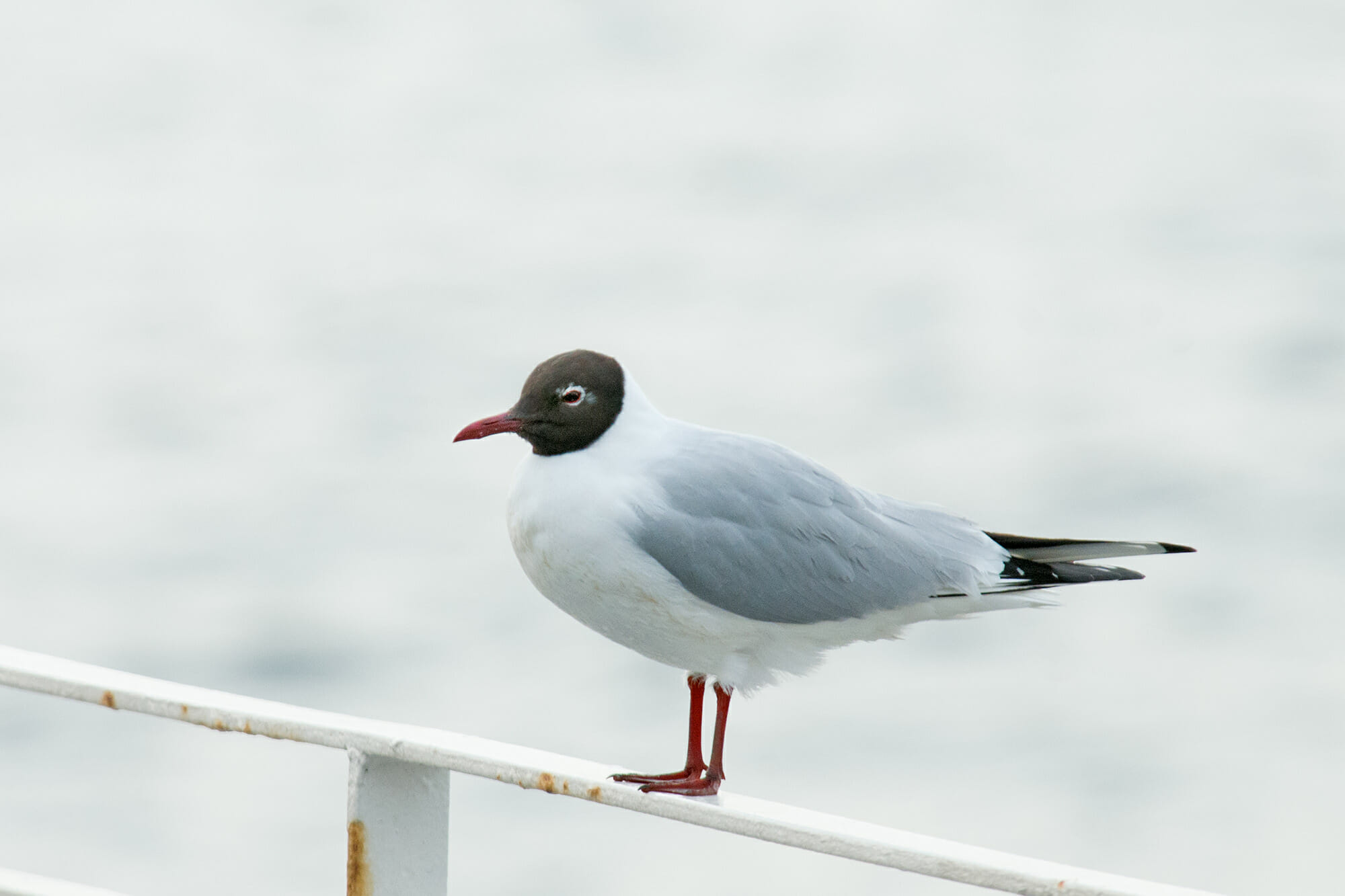 Istanbul birds - Black-headed gull