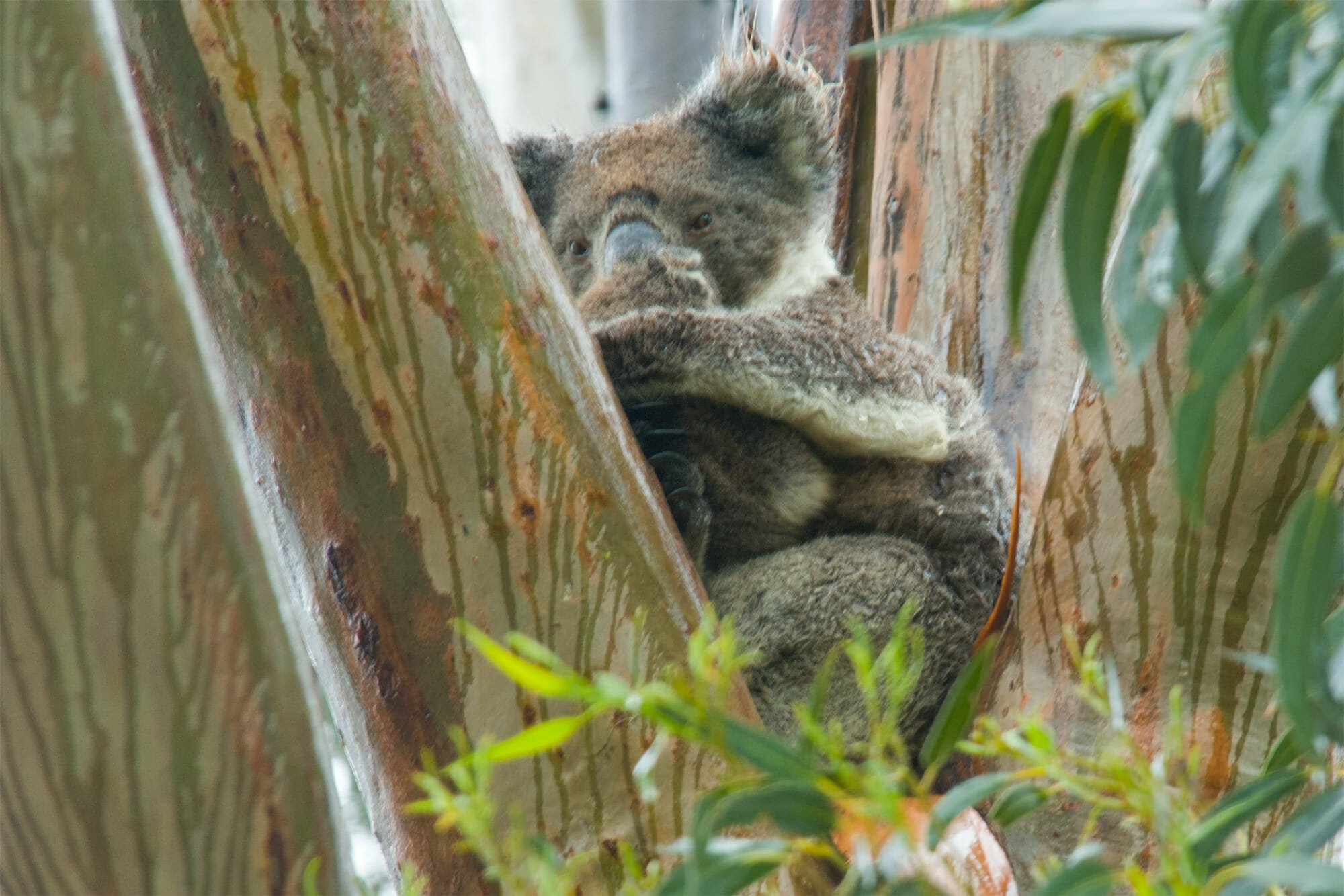 Wildlife watching on Kangaroo Island - Koala