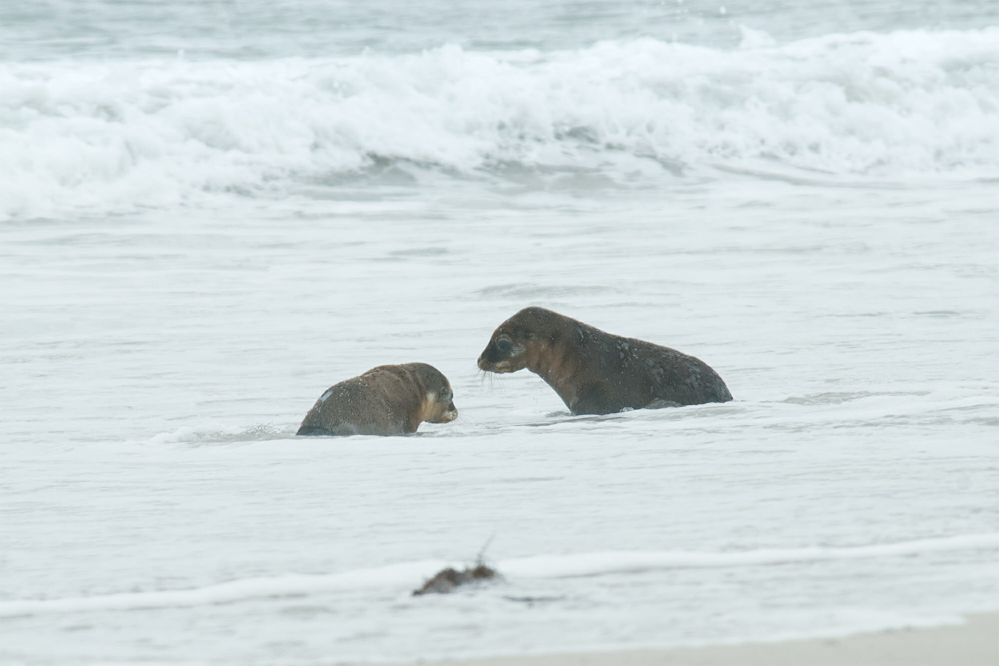 Australian sea lion pups learning to swim
