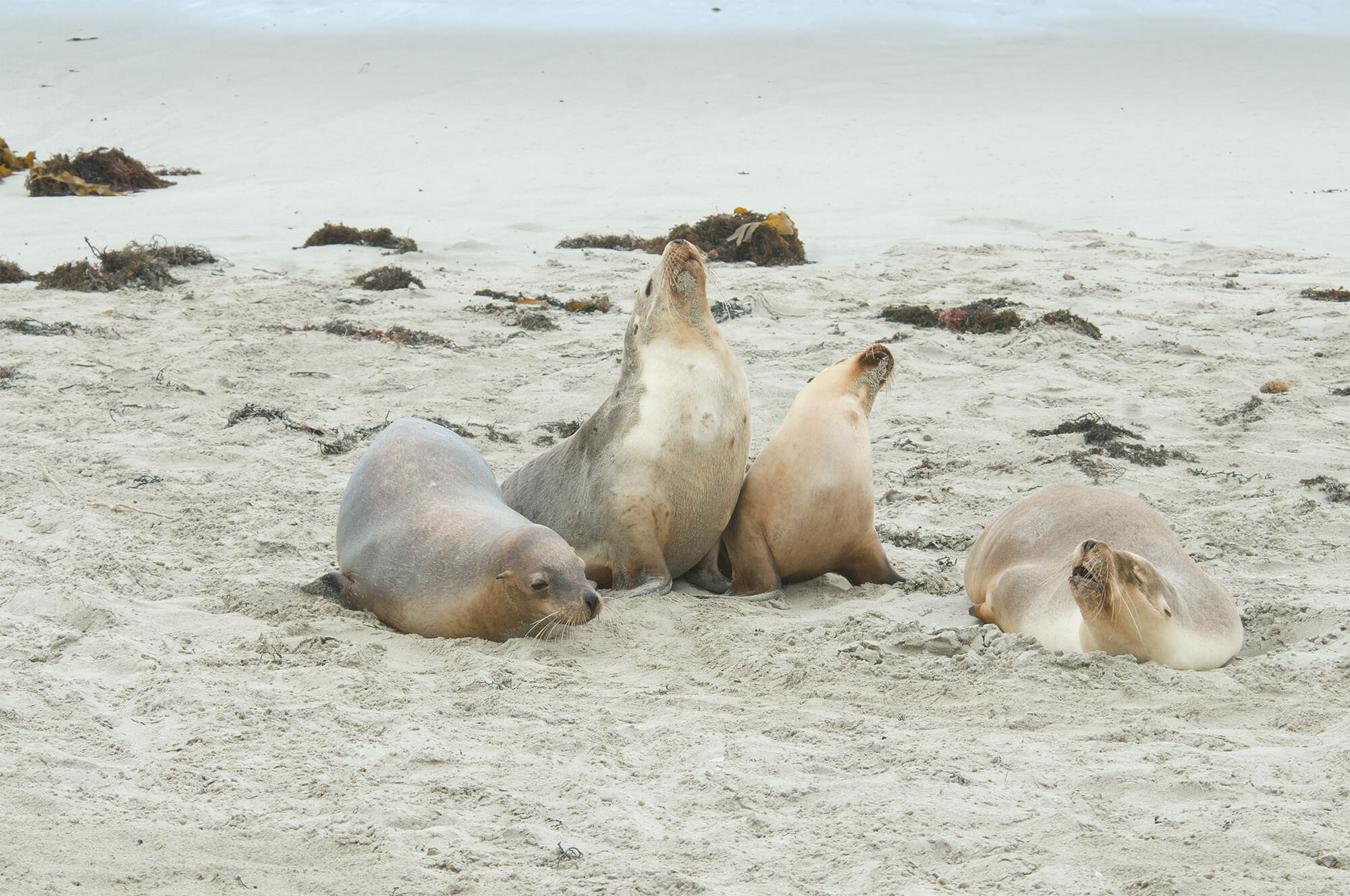 Wildlife watching on Kangaroo Island - Australian sea lion