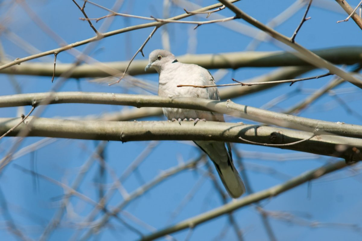 Eurasian collared dove in Istanbul