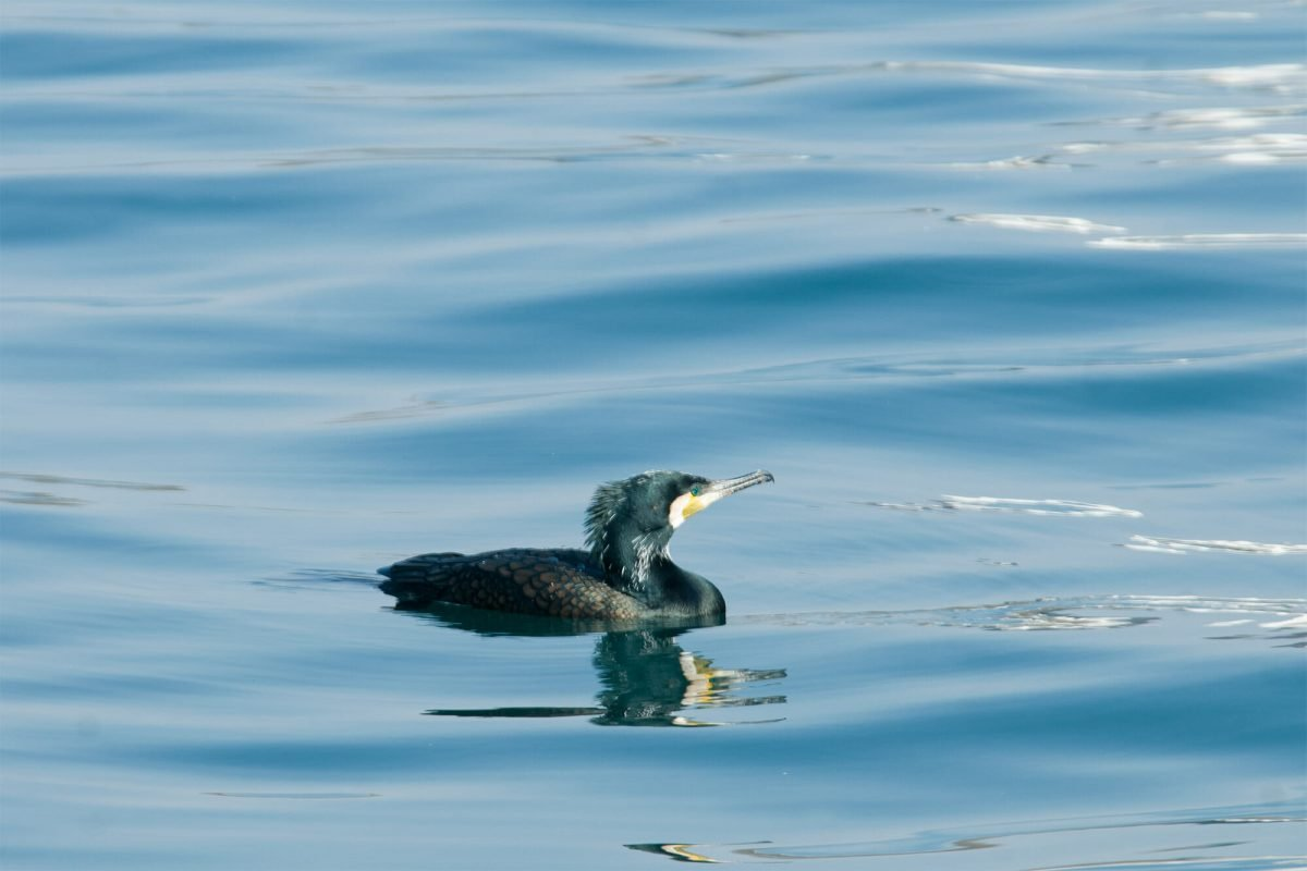 Istanbul birds - Great cormorant
