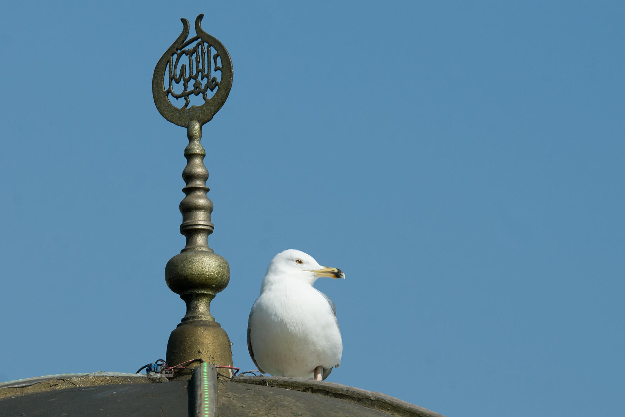 Istanbul birds - Heuglin's gull